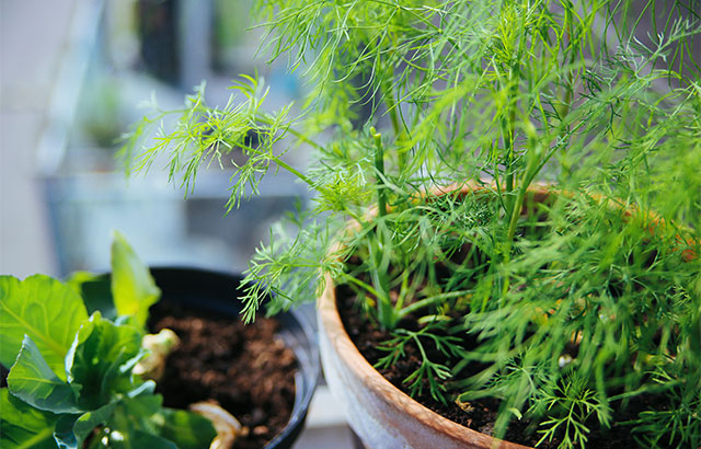 Krydderurter på altanen: her er 6 planter du bør have!