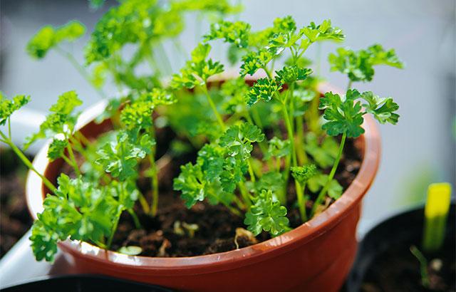 Hvilke krydderurter kan plantes sammen