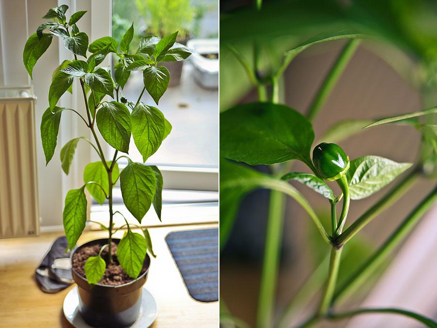 dyrk-peberfrugt-derhjemme