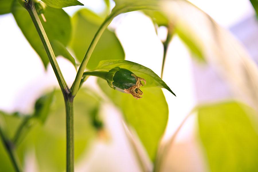 peberfrugt med visnet blomst