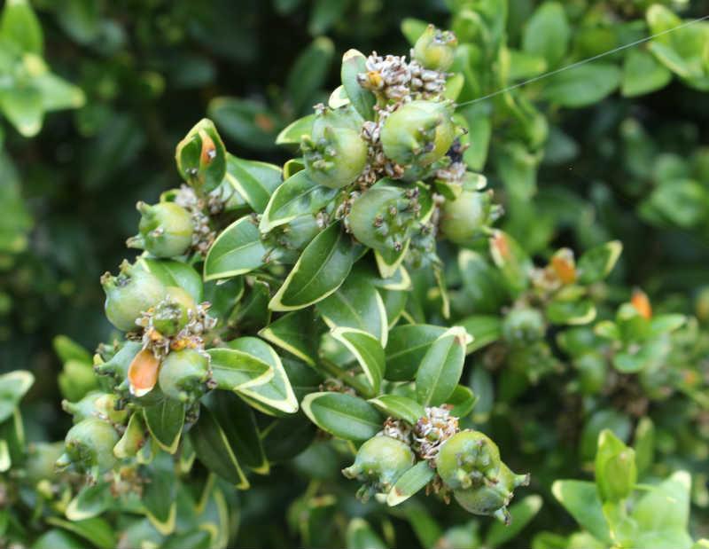 Buksbom med de karakteristiske frøkapsler