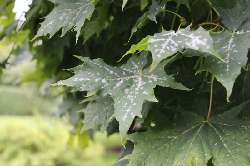 Svampelignende vækst på blade i sensommeren