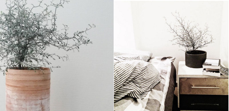 corokia sølvtræ