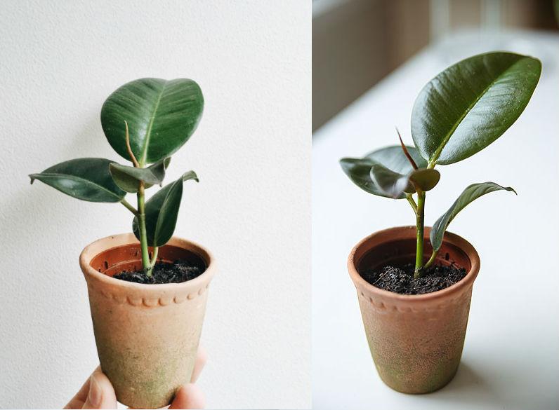 gummitræ som stueplante