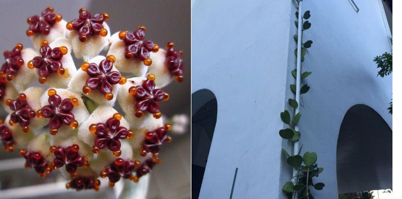 hoya kerrii hjerteformet kaktus