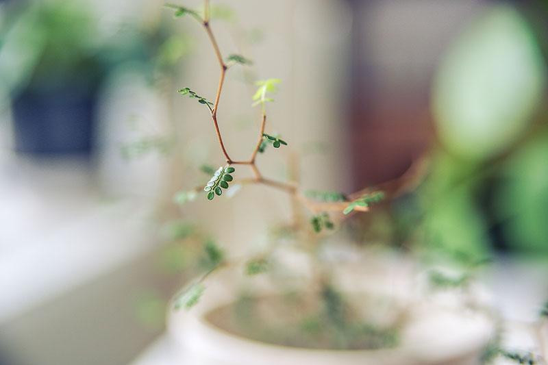 little-baby-sophora-prostrata
