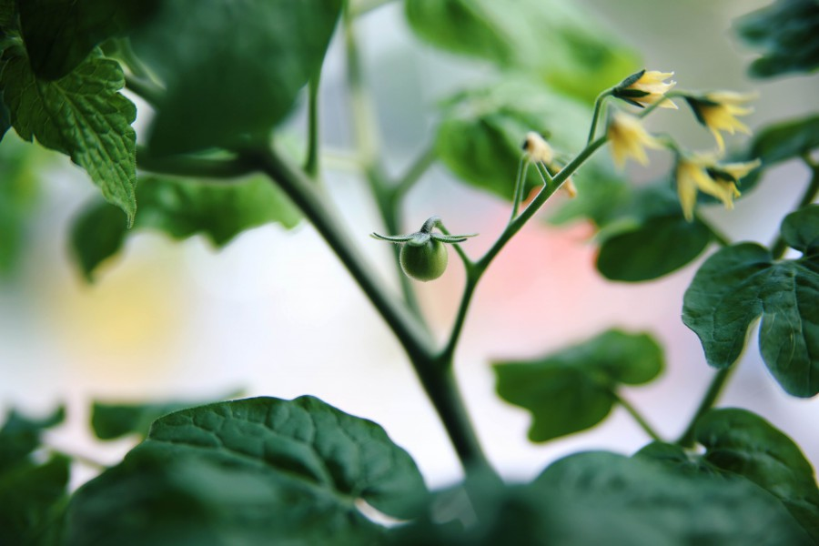 minibel tomat billede
