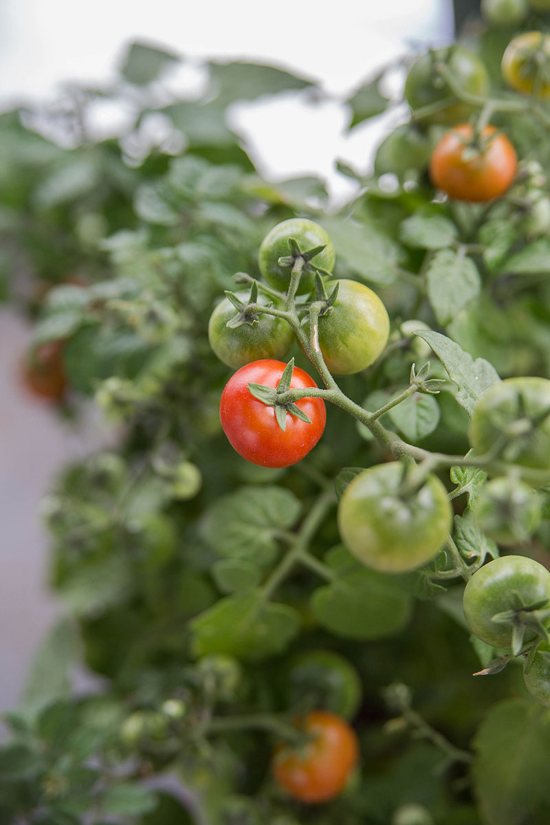 minibel tomatplante med modne tomater