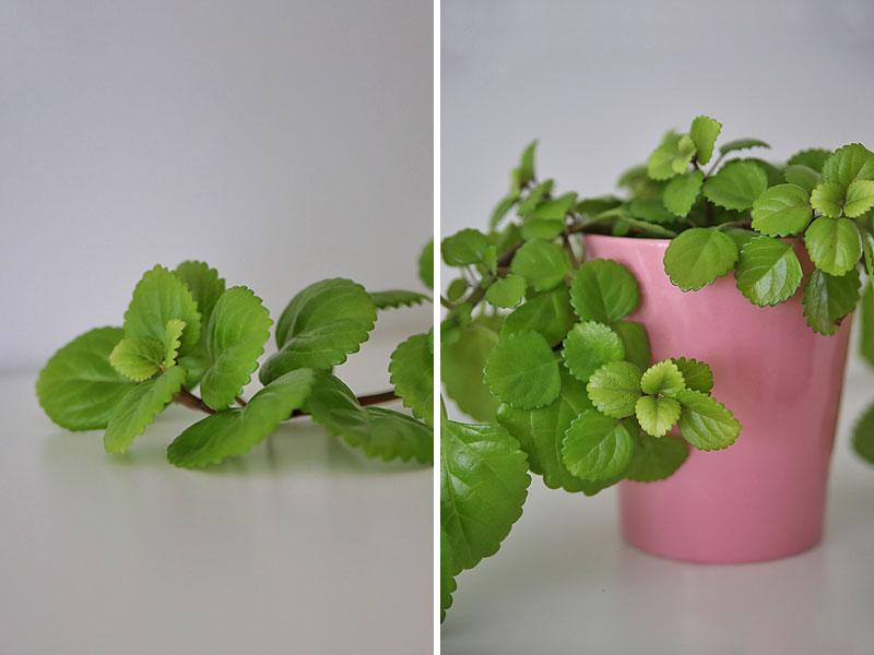 Planteplaneter, dekorative hængeplanter
