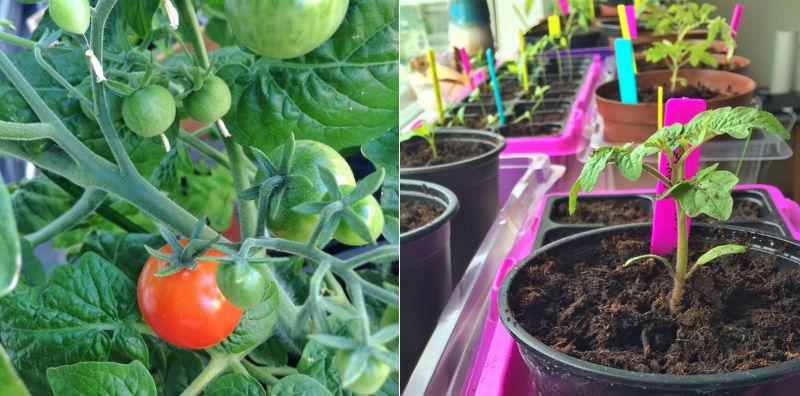 små tomater i krukker