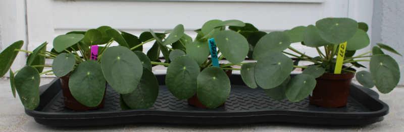 3 smukke Pilea planter efteråret 2015