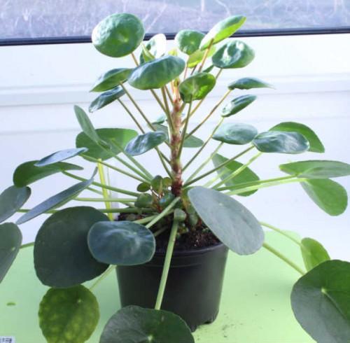 pilea peperomioides efter led vækstlys