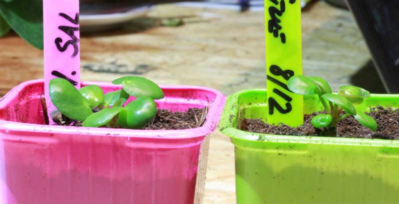 Pilea stiklinger i potte