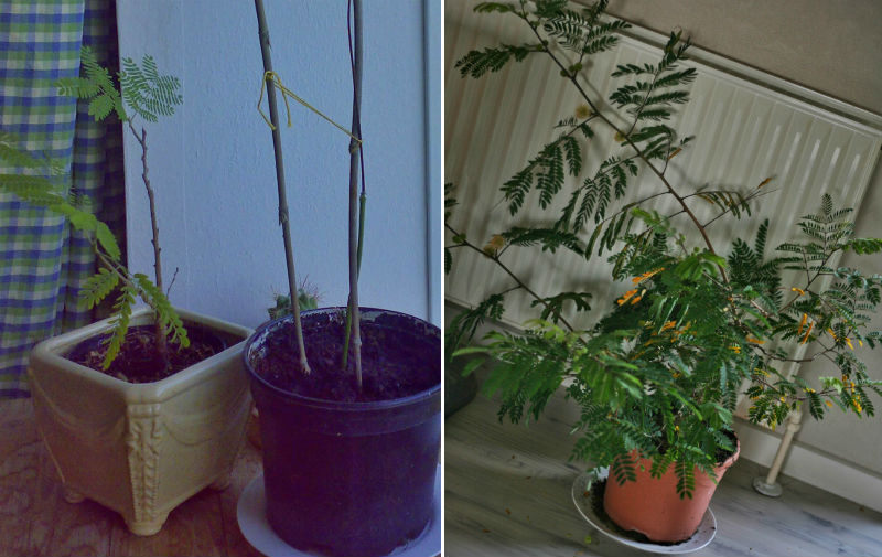 bonsai træ pasning