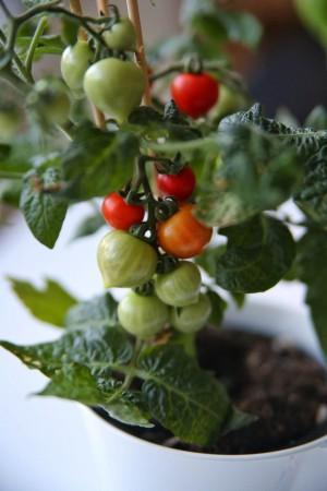 kitchen minis minitomatplanter