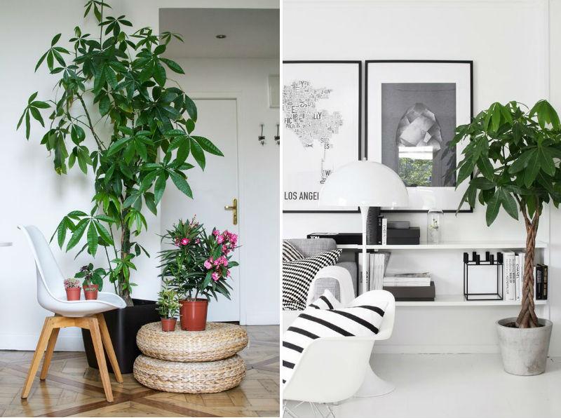 lykkekastanje store stueplanter