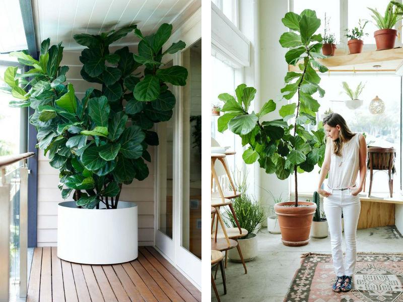 violinfigen store stueplanter billede