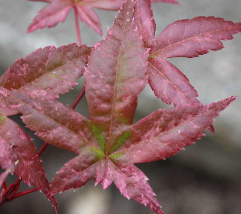 Medio Juni, blade skifter farve. Japansk Ahorn Acer Palm Kasagi Yama / Acer Palm Kasagiyama