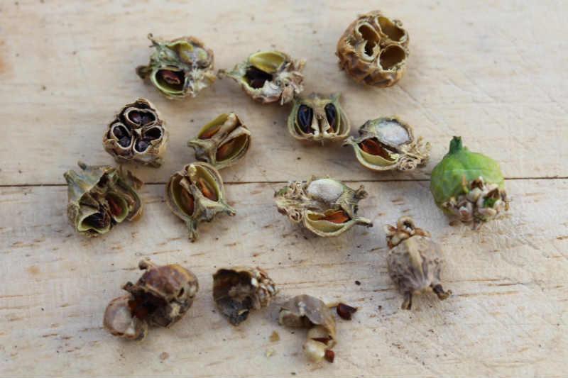 Buksbom frøkapsler