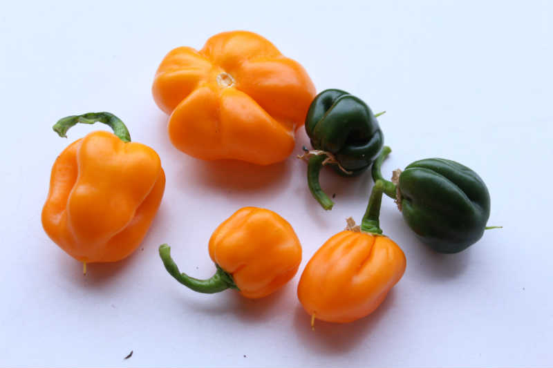 Habanero Orange, høst April 2016