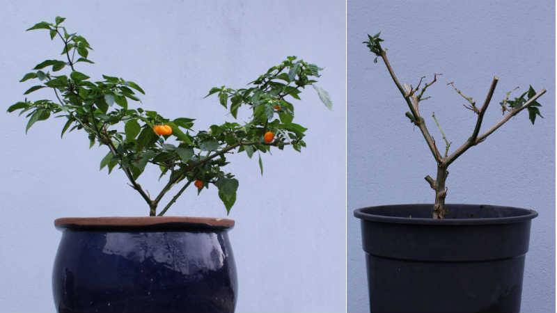 Habanero Orange før / efter beskæring