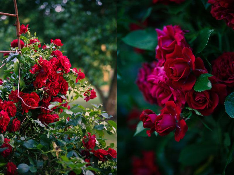 Rose Poulcy014 klatrerose