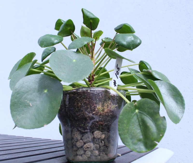 Pilea Peperomioides plantet i en glaspotte uden drænhuller