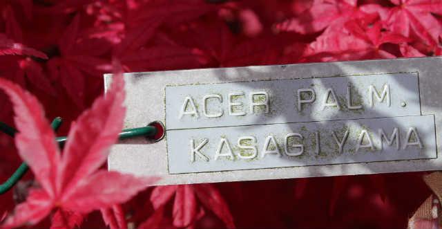 Acer Palm Kasagi Yama / Japansk Ahorn