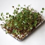 Radisespirer som mikrogrønt