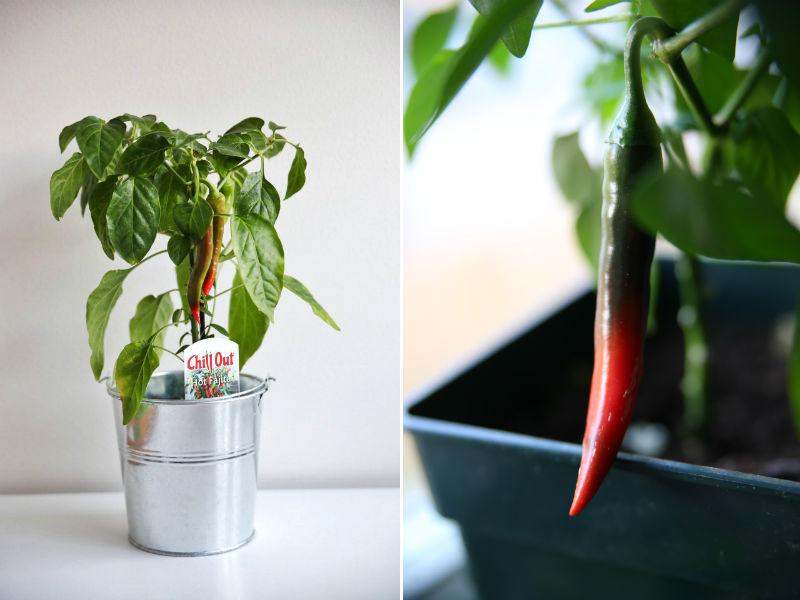 rød cayenne chili med frugt