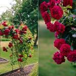 Den prisvindende klatrerose, Rose Poulcy014