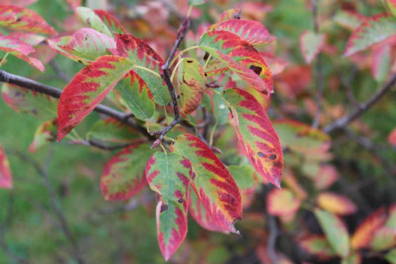 Bærmispel i efterårsfarver (10. Oktober)