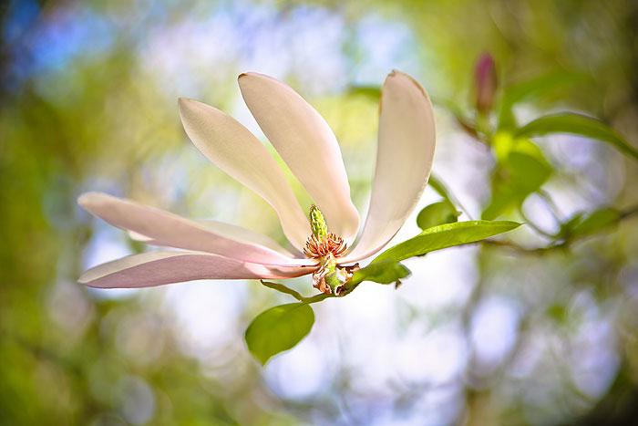 magnolia-peter-hansens-have