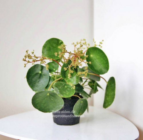 pilea peperomioides med blomster