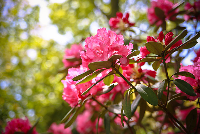 rhododendron-busk