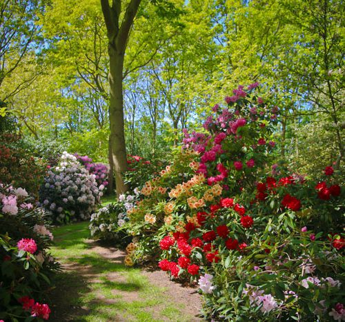 rhododendron i peter hansens have