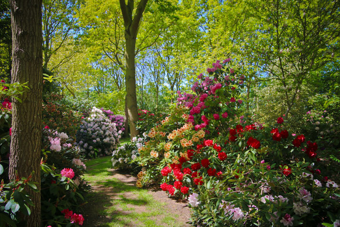 rhododendron-i-peter-hanens-have