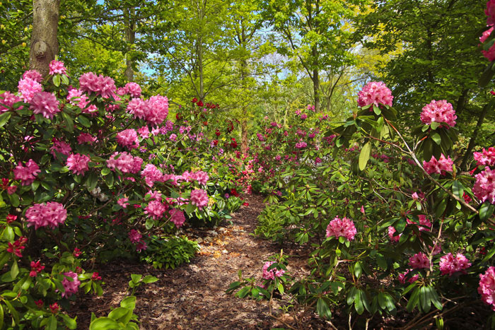rhododendronskov