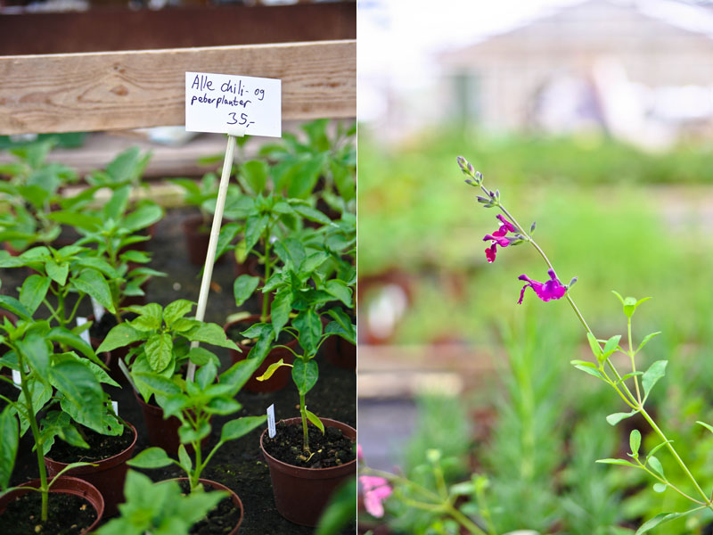 Chiliplanter på grennessminde