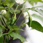 Jalapeño, en af de nemmeste chilier du kan dyrke