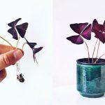 Oxalis Triangularis: Smuk lilla kløverblomst