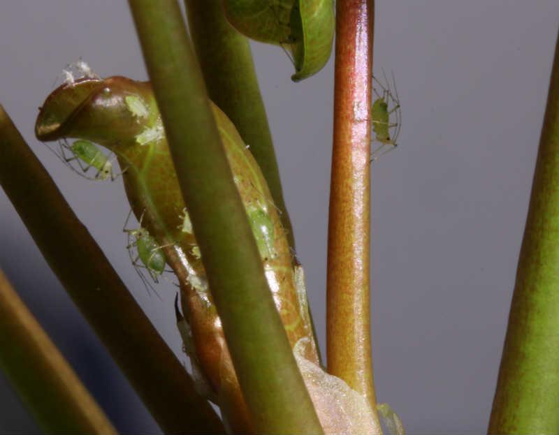 Pilea angrebet af bladlus - heftig aktivitet
