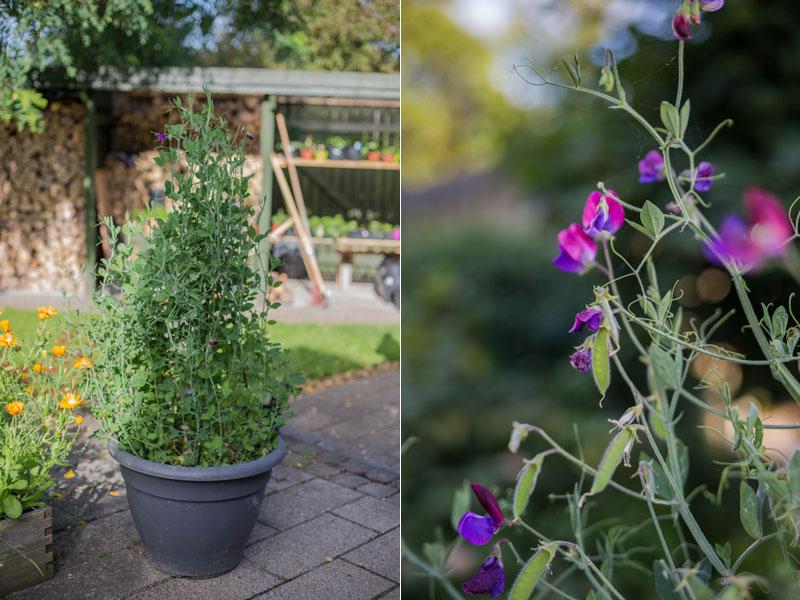 Cupani ærteblomst der vokser i en krukke på terrassen