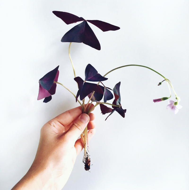 oxalis triangularis med blomster