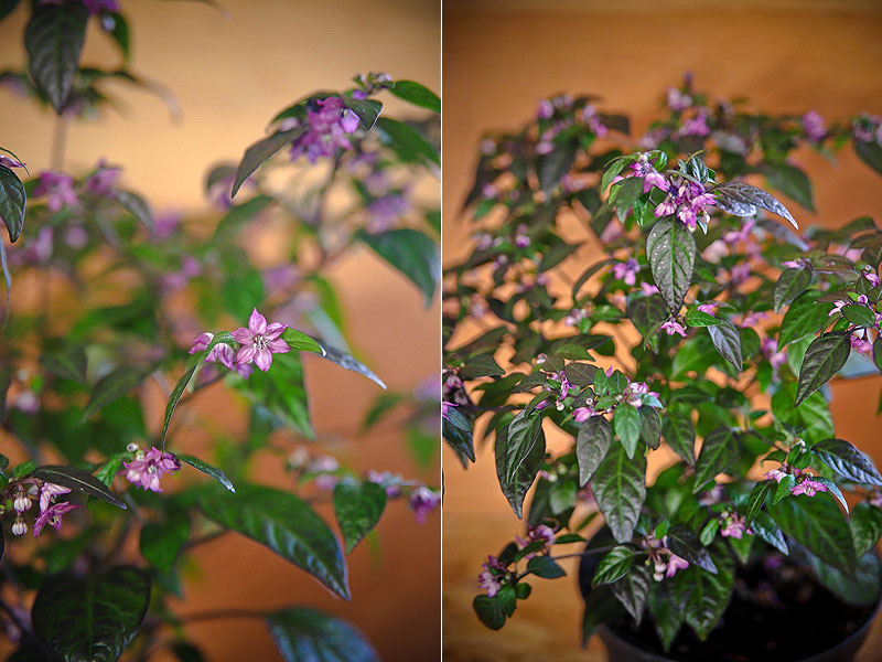 pretty in purple chili plante