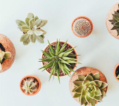 Kaktus guide