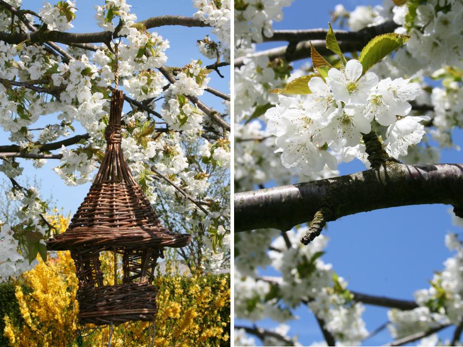 Moreltræ i blomst
