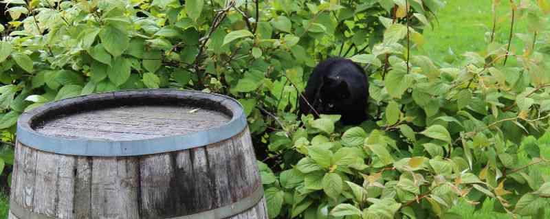 Kat klatrer i stikkelsbærkiwi