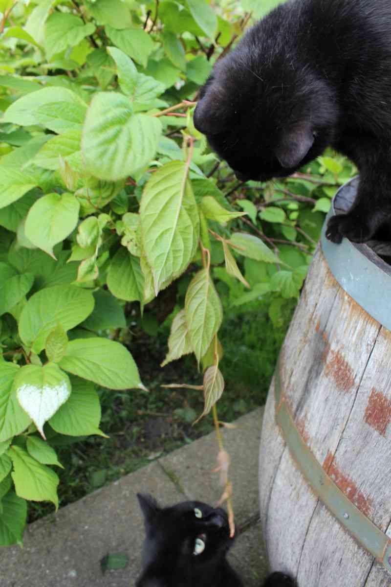 Katte og Stikkelsbærkiwi