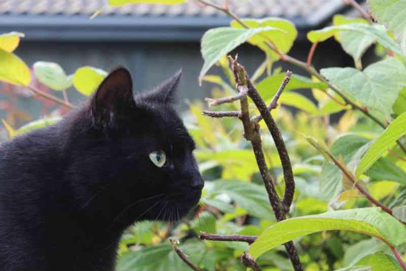Katte elsker actinidia arguta, stikkelsbærkiwi